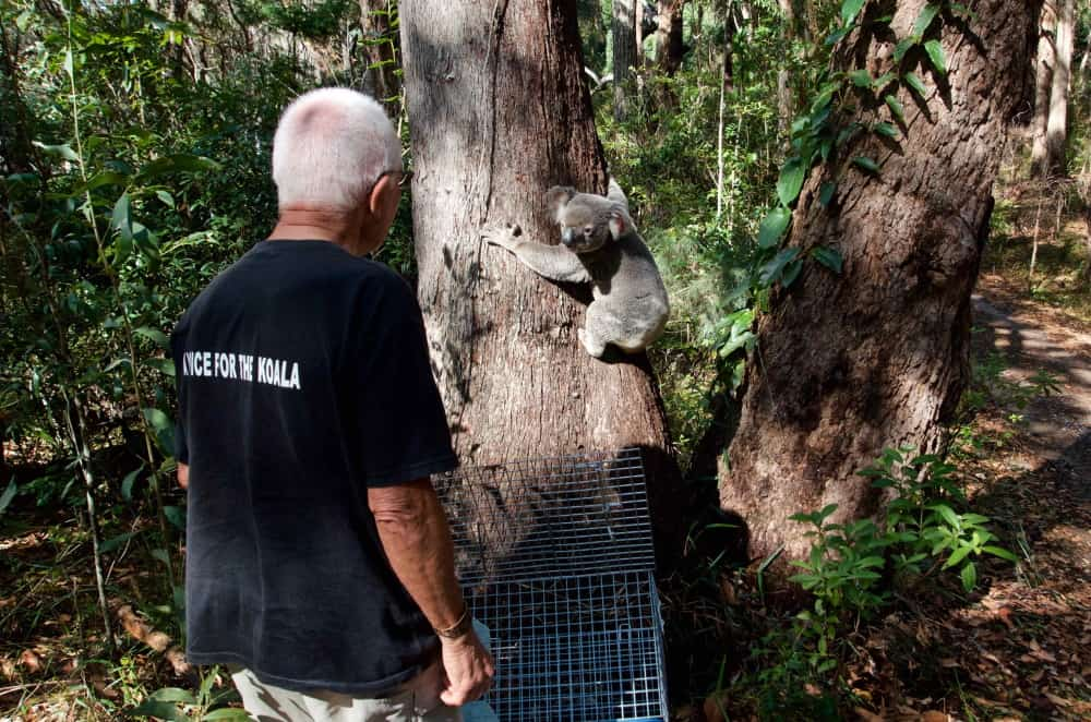 Noosa koala returned to Bush tree with man