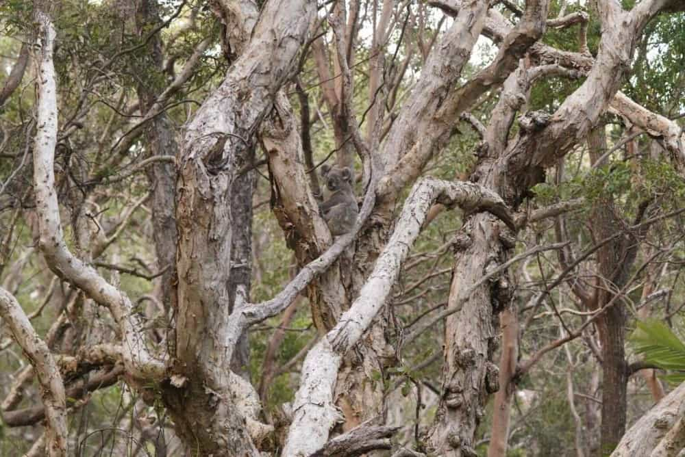 Noosa koala in paperbark trees