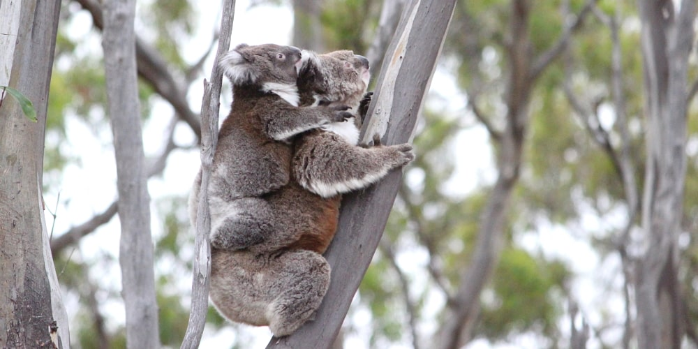 exciting koala joey news
