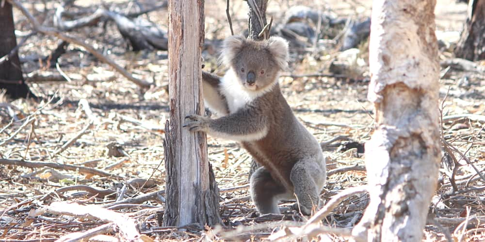 exciting koala baby bump