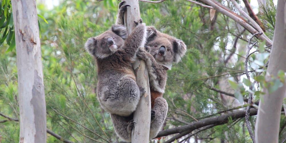 threatened koalas mother joey