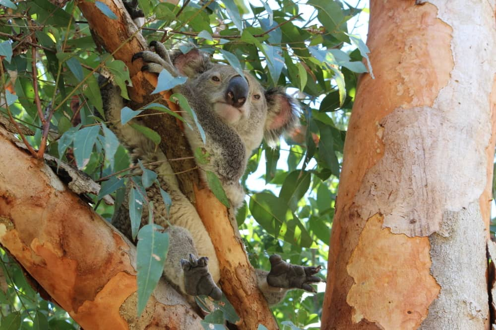 Koala Action Gympie media release