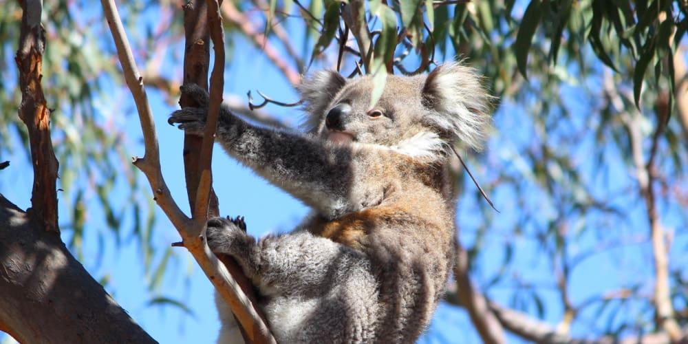 endangered koalas