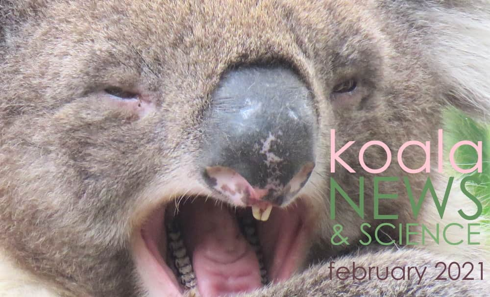 koala face mouth open news february
