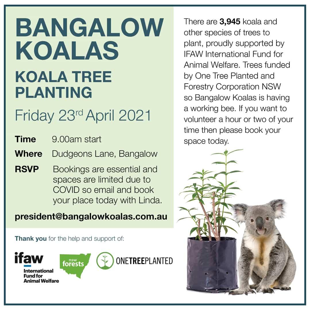 koala tree planting volunteer bangalow NSW