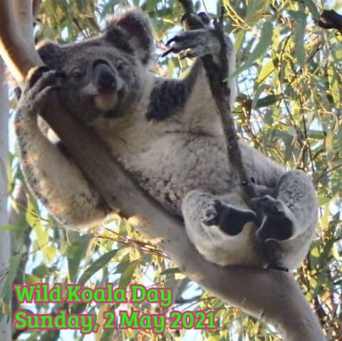 Koalas of Joyner Wild Day 2021