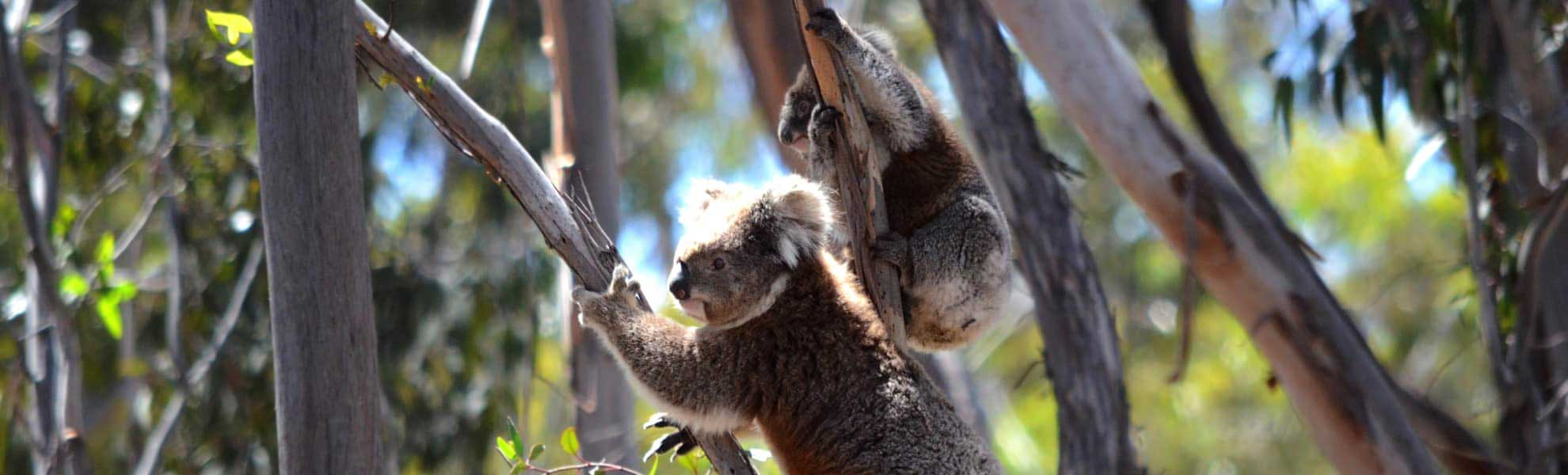 Koala charity groups wild koala day