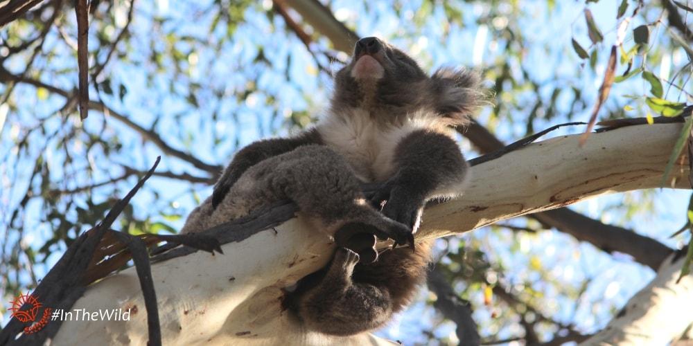 The Bush needs Koalas