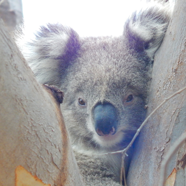 koala day cute joey