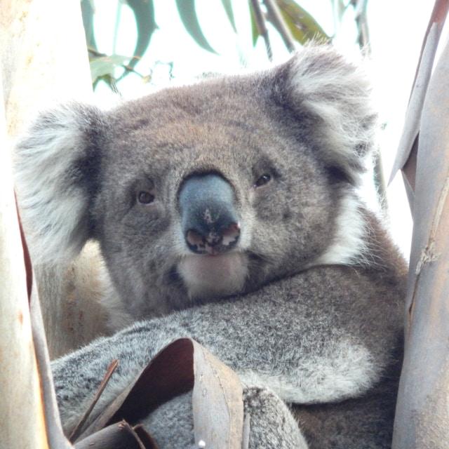 square pic for IG wild koala
