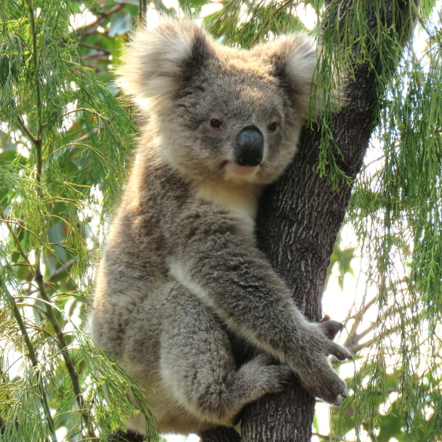 share instagram pic wild koala day