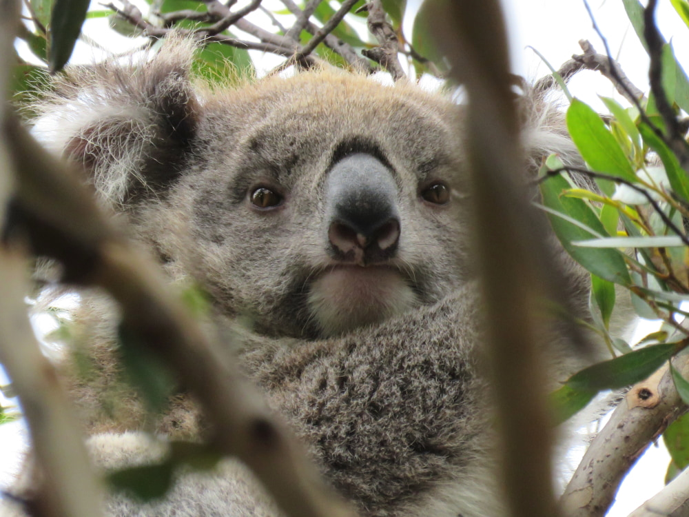 wild koala looking through branches