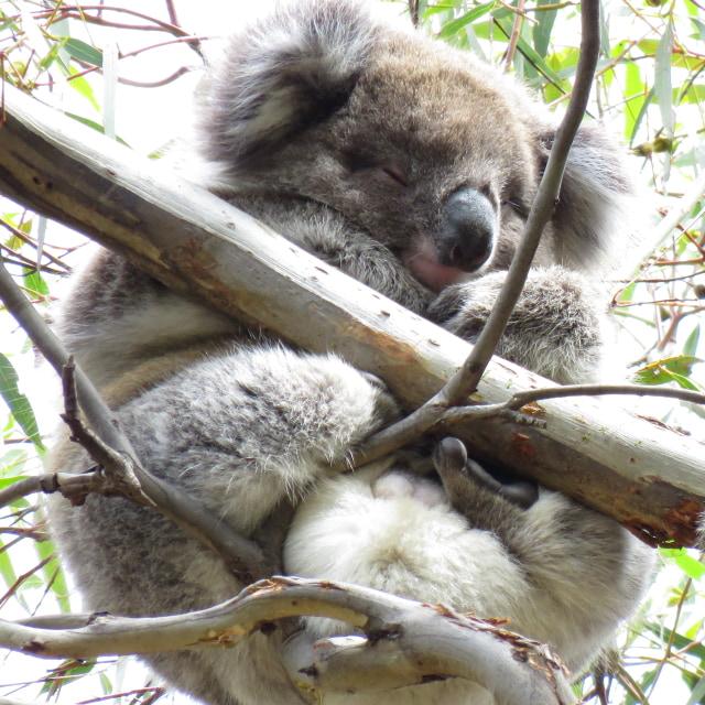 national koala day cute pic free download
