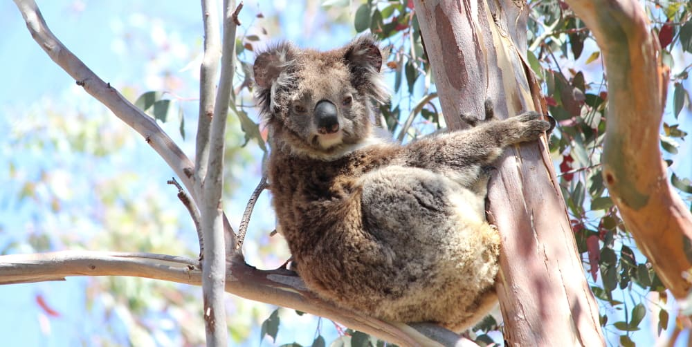 What is international Wild Koala Day?