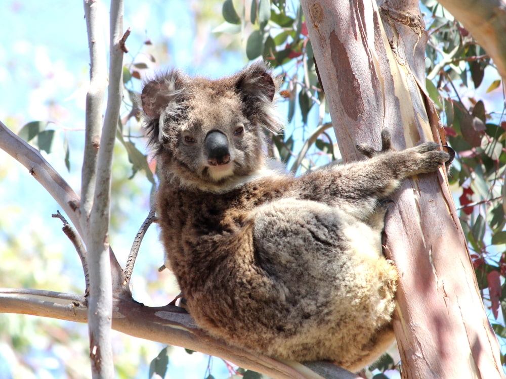 old wild female koala wkd2020