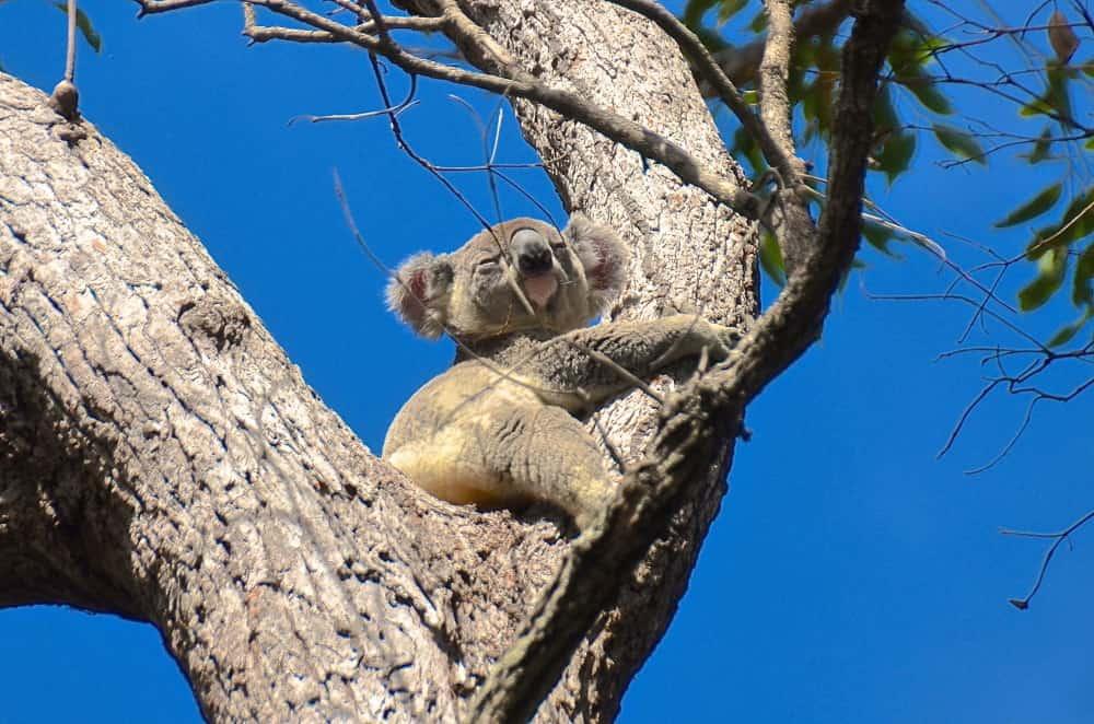 wild koala Noosa NP Queensland