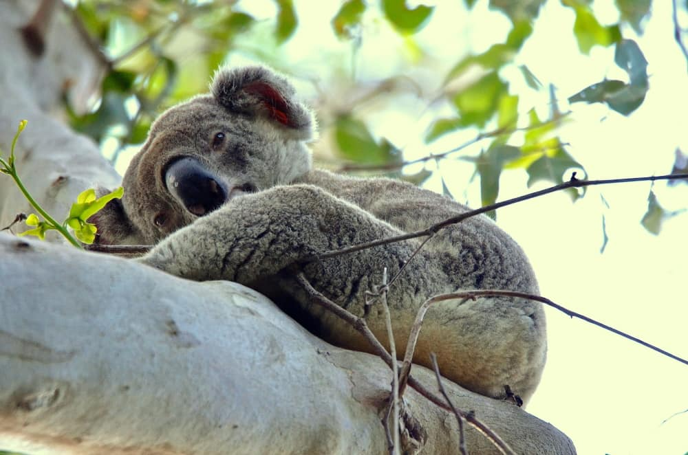 Koala from Queensland