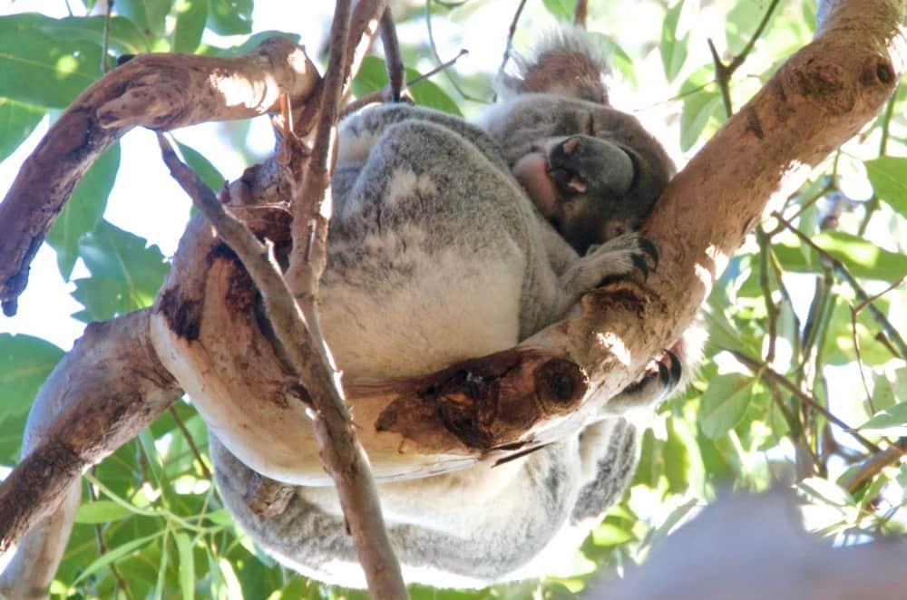 beloved wild koala Noosa