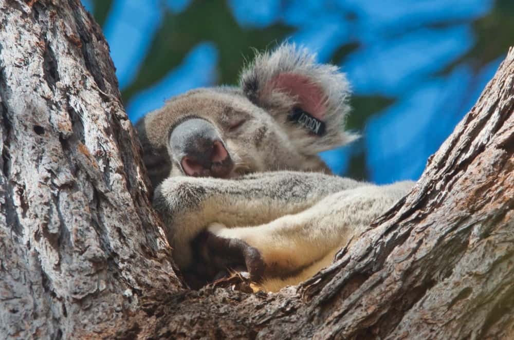 wild koala snoozing noosa