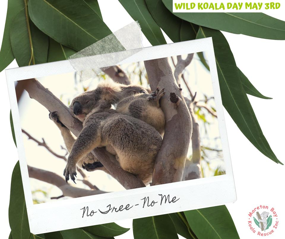 Moreton Bay Koalas mother joey