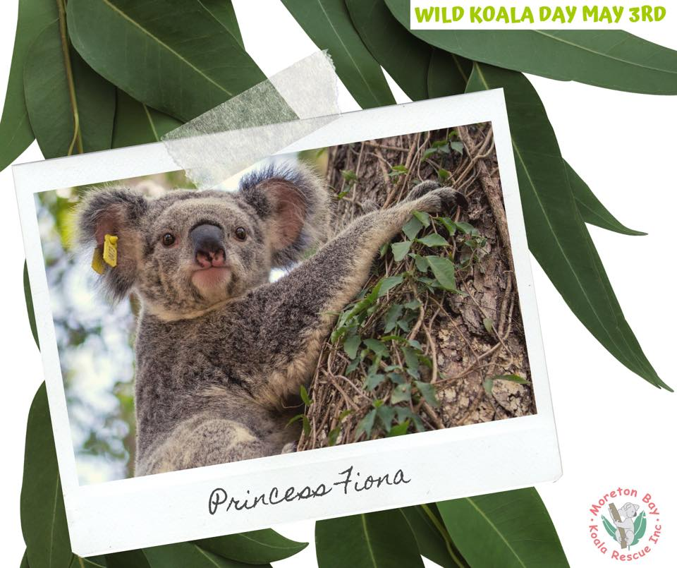 Moreton Bay Koala Care female