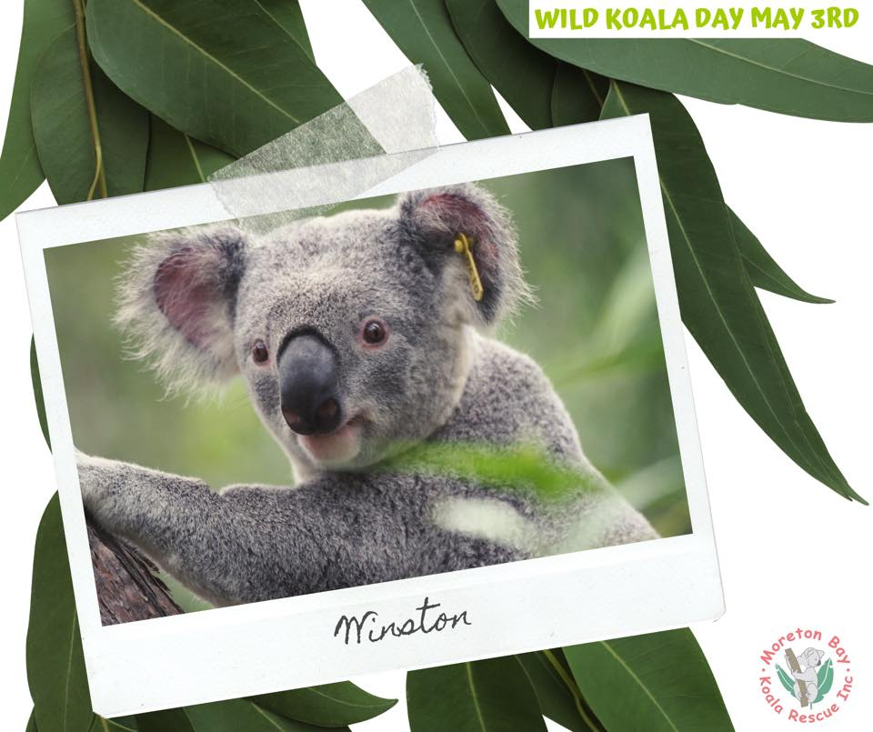 Moreton Bay Koalas wild koala day