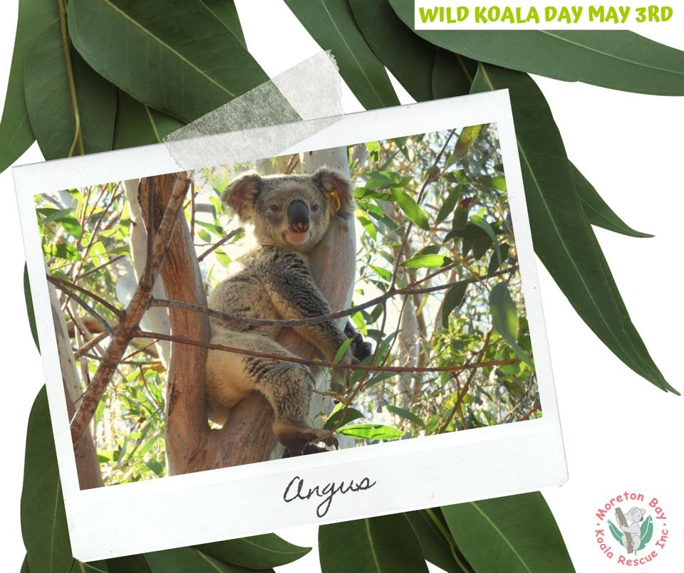 Moreton Bay wild Koala in tree