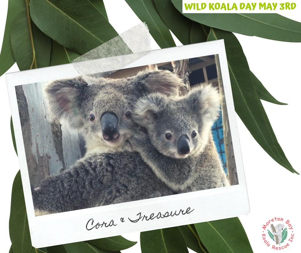 Queensland wild koala mother joey