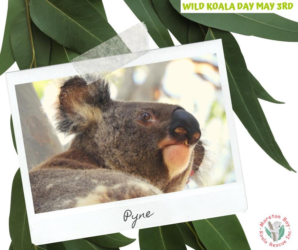 Moreton Bay wild Koala day