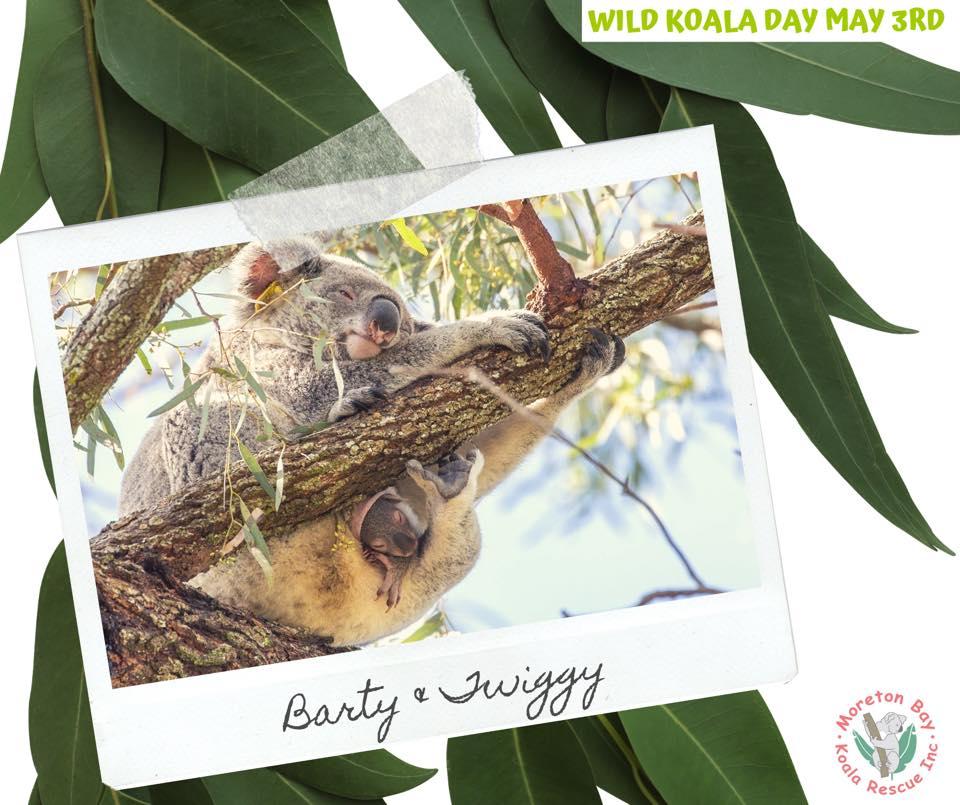 Brisbane Koala mother joey in pouch
