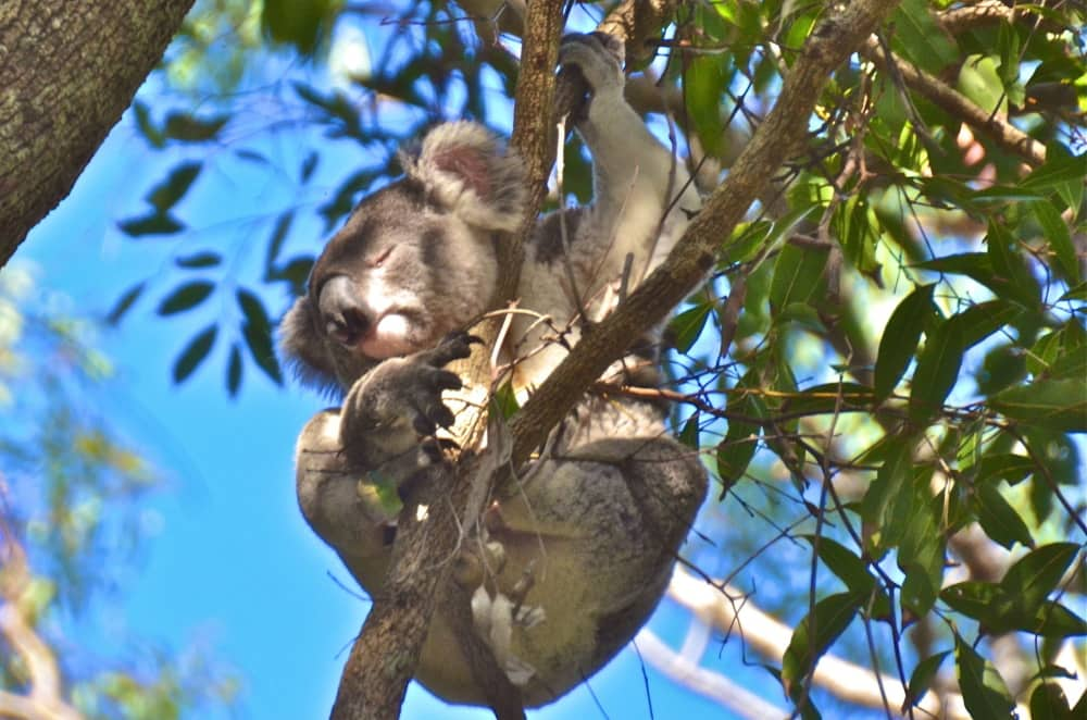 Queensland wild koala day