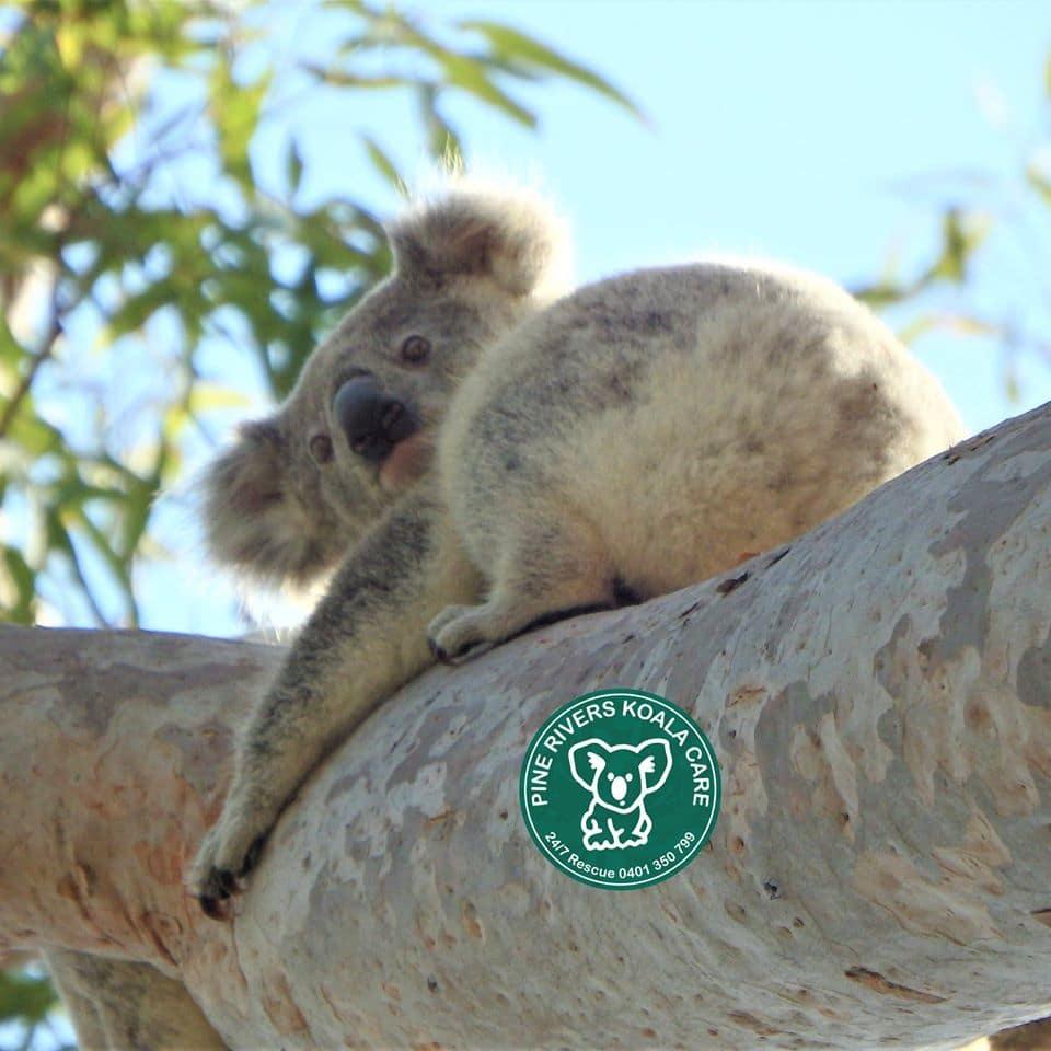Brisbane koala wild