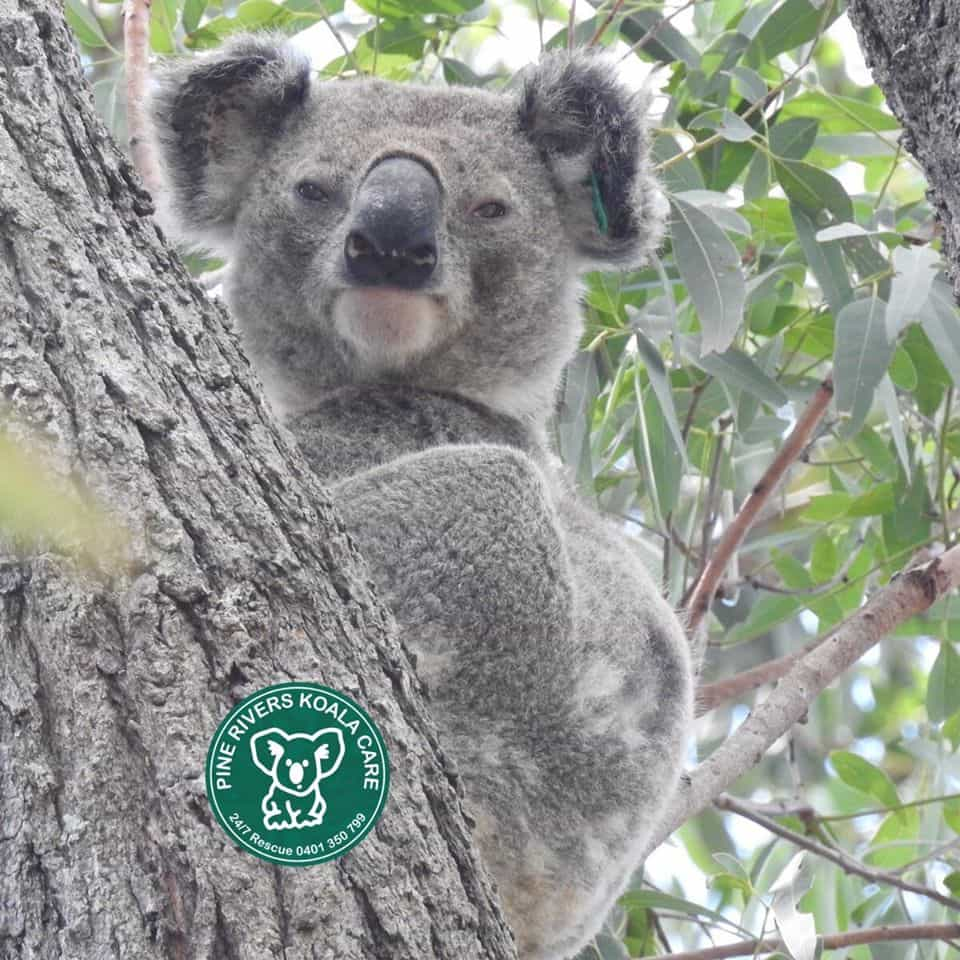 pine rivers koala care wild koala
