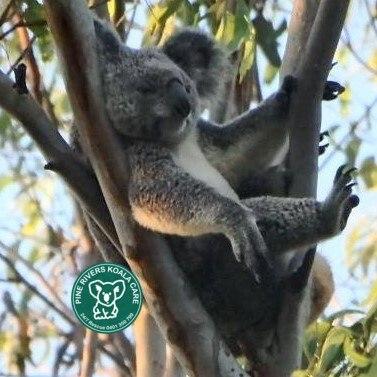 Brisbane koala wild funny position