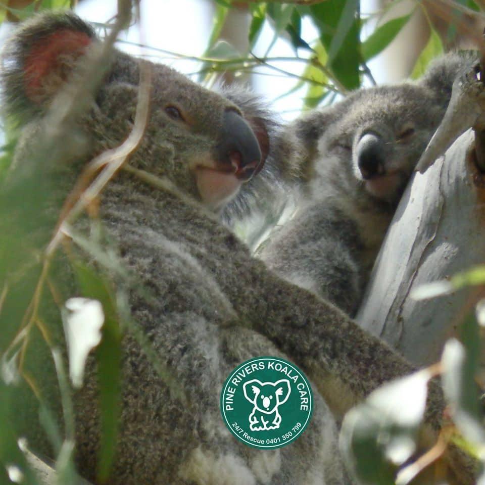 pine rivers wild koala mother joey