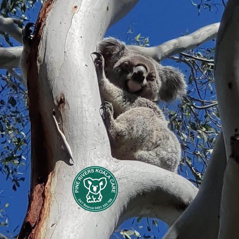 Brisbane koala wild PRKC