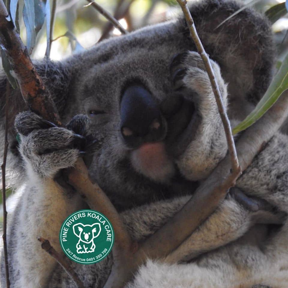 pine rivers wild koala care