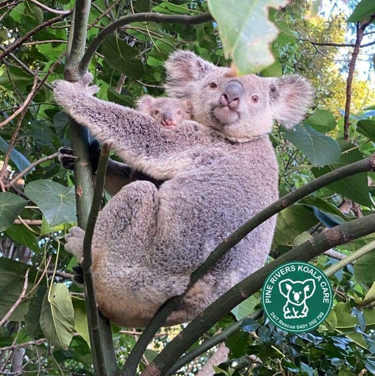 Brisbane koala wild mother joey