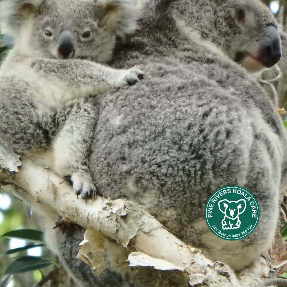 wild koala day PRKC