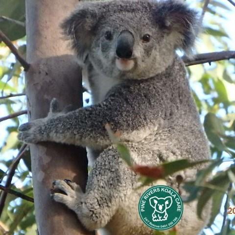 Brisbane koala wild cute Pine Rivers