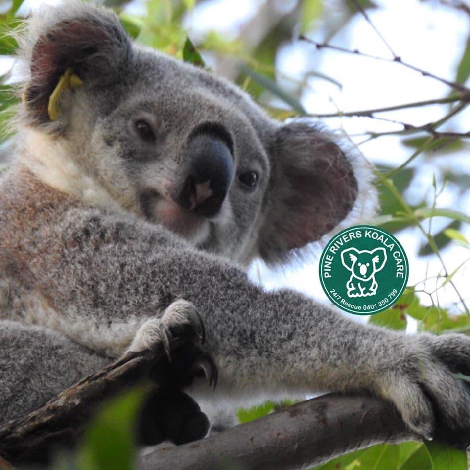 pine rivers wild koala qld