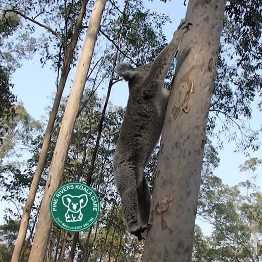 pine rivers wild koala stretching queensland