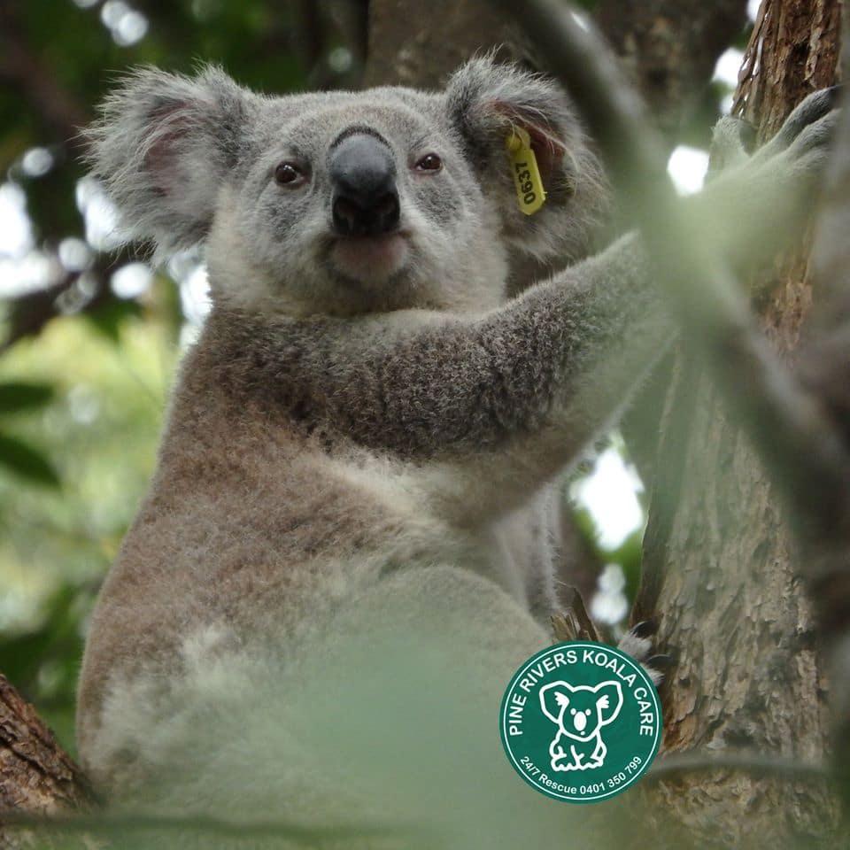 Brisbane koala with tag