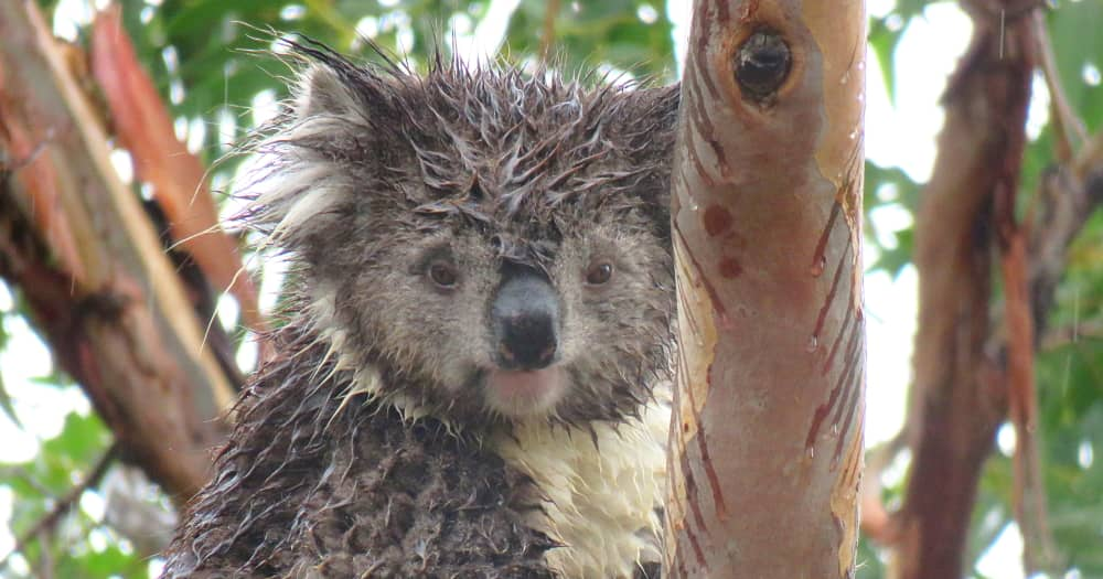 Koalas love to eat leaves in the rain