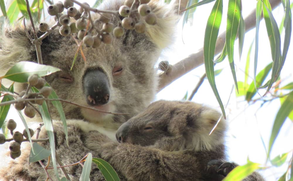 koala joey cuddles mother