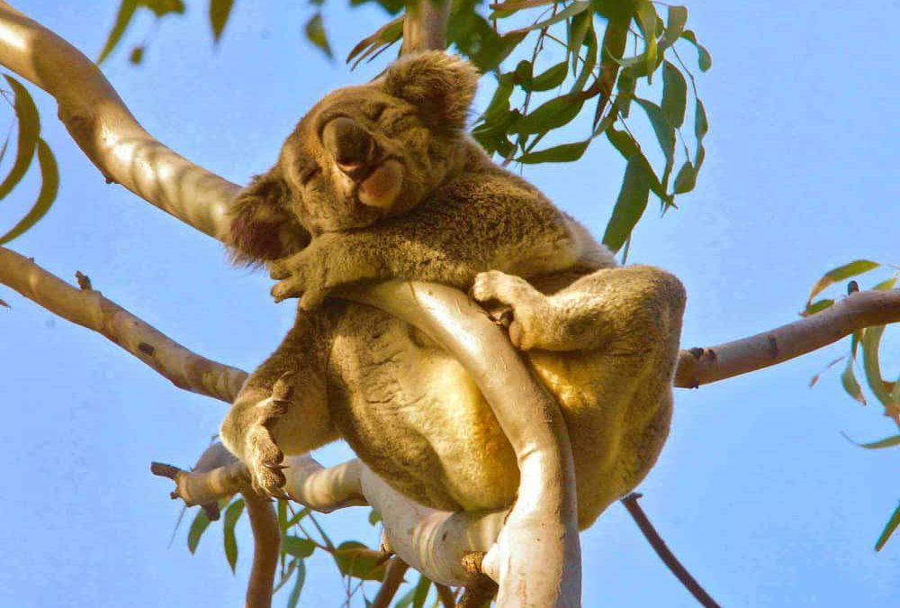 sleeping wild koala