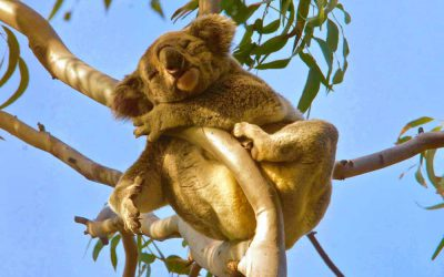3 new koalas together in Noosa NP