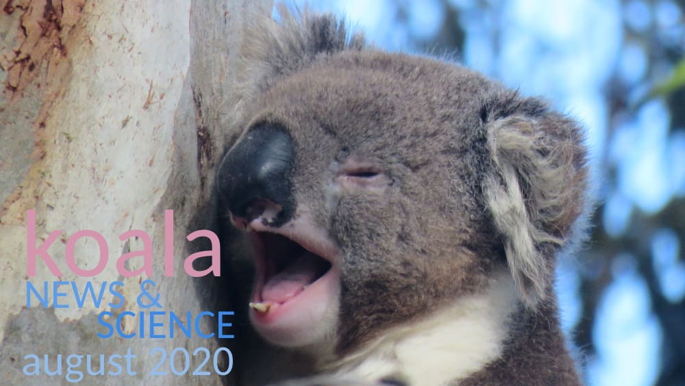 Koala yawning news science newsletter august 2020