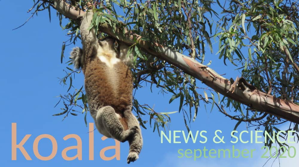 Koala News & Science September 2020