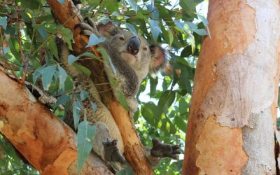 Gympie Council rushes through koala-killing law